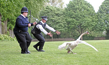 The police finally discover the elusive Killer Swan that has been causing so much trouble.