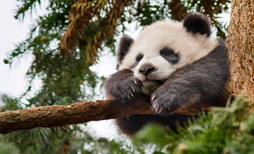 We'd rather see a picture of a cute panda than Katherine Heigl.